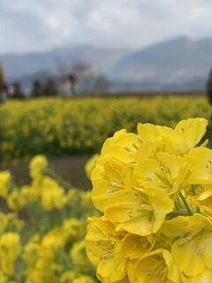 2021年1月 「第一なぎさ公園」の菜の花畑で一足早く春を感じて♪「琵琶湖大橋」も渡って久々のMTBを満喫~