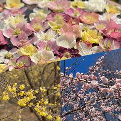 ろうばい、梅、クリスマスローズ、花は咲き春はすぐそこまで。