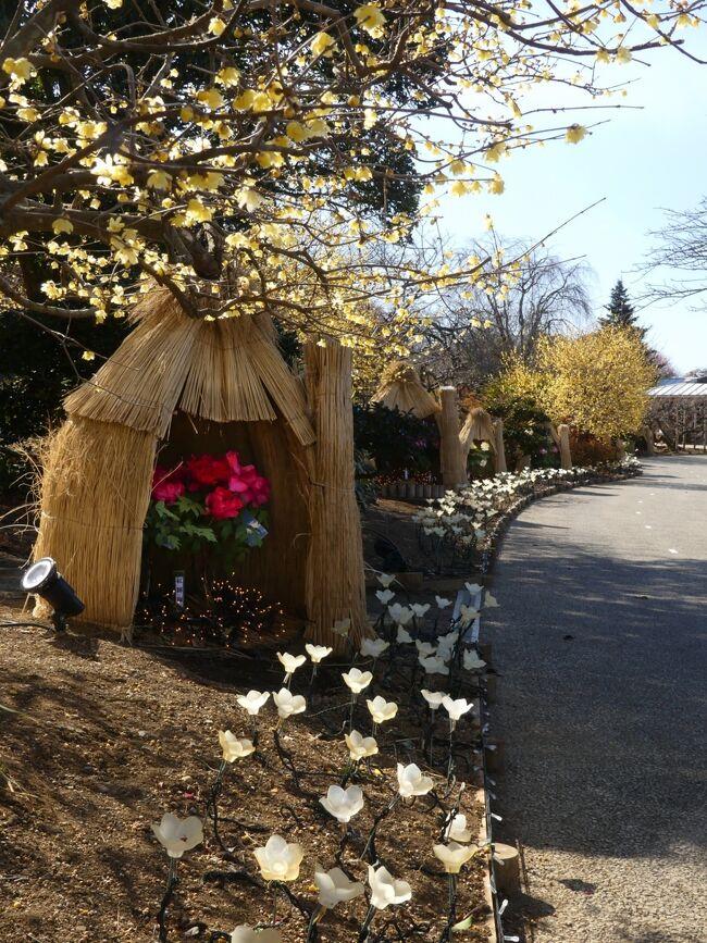 この日、2月3日は立春です。春になったので「あしかがフラワーパーク」に行ってきました。2月3日が立春になるのは124年振りだそうです。<br /><br />ロウバイは見事に咲き揃って見頃です。寒紅梅も見頃が始まっています。園内に沢山置かれたワラボッチの中には、冬咲きボタンが咲いています。<br /><br />夜になると、ワラボッチの中のボタンはライトアップされ、イルミネーション(2月7日まで実施中)との競演が綺麗、とホームページにありましたが、昼間でも、ロウバイや紅梅との競演を十分に楽しめました。
