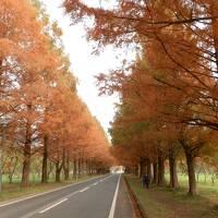 メタセコイア 秋の紅葉(赤褐色の紅葉)