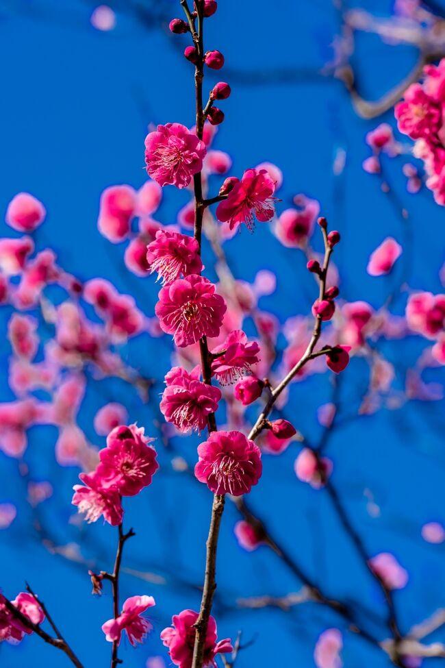 厳寒が続く中、泉都別府でようやく梅が咲き始めました。