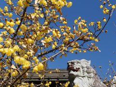 「雷電神社」のロウバイ_2021(2)_開花進み、見頃始まりました。(群馬県・板倉町)