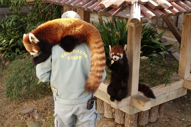 また、1月中旬から新型コロナウィルスによる緊急事態宣言が再発令されました。<br />この旅行記の時点ではどの様な制限が掛かるのか分からない状況でしたが、「県を跨いでの不要不急の外出」は自粛を求められそうですし、場合によっては特に公立の動物園は臨時休園になる可能性もありそう、と言う感触がありました。<br /><br />そんな訳で緊急事態再発令前に神戸市立王子動物園を訪問しました。<br />王子は僕の最寄り動物園ではあるのですが、最寄りだけに逆になかなか足を運べていませんでした。<br />王子ではジャズ君と野花ちゃんの若者ペアが北園のレッサーパンダ舎で同居を行っており、その様子がSNSなどでたくさんアップされていて「見たいなぁ」と思っていたんです。<br /><br />神戸に爆誕したとっても可愛らしいカップルの様子を是非お楽しみください。<br /><br /><br />これまでのレッサーパンダ旅行記はこちらからどうぞ→http://4travel.jp/travelogue/10652280