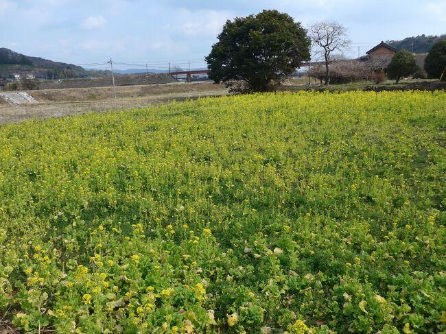 2021年春は八坂川鉄橋・土手の菜の花満開を見れそうにありません (;_;) のでSAKURA農園の菜の花を見て頂きます!!