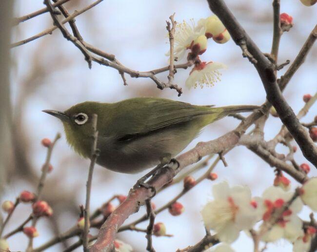 2月12日、午後1時半過ぎに川越市の森のさんぽ道へ行きバードウオッチングをしました。本日は薄曇りで気温は12℃くらいで風は弱かったです。 バードウオッチングには良いと思っていましたが、晴天では無かったので野鳥が少ないようでした。<br />観察されたのはメジロ、キジバト、ツグミ、ヒヨドリ、シジュウカラ、キセキレイ、スズメ等でした。梅の花がかなり咲き始めたのでメジロ、ヒヨドリが集まっていて撮影できました。 ツグミについては単独で見られました。<br /><br /><br />*写真は梅の花に留まっていたメジロ<br />