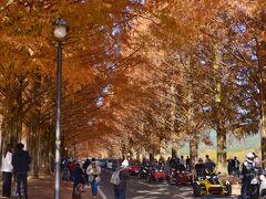 マキノ高原・メタセコイア並木の紅葉