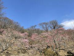 春よ来い♪ 早く来い♪ 「筑波山梅まつり」