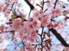 秦野戸川公園は河津桜満開!