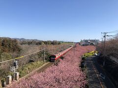 三浦海岸のさくら(まつり)