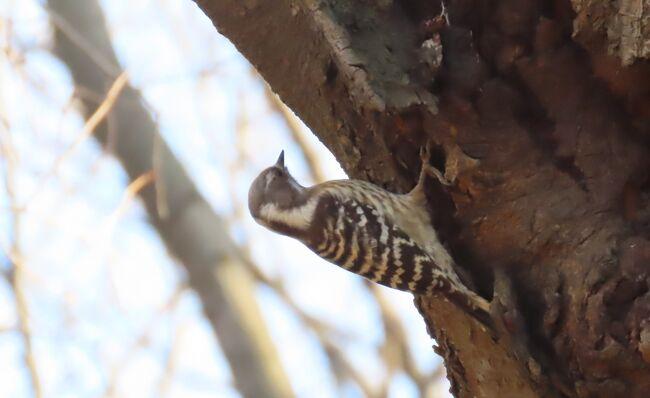 2月20日、午後1時過ぎに川越市の森のさんぽ道に行き、バードウオッチングをしました。 この日の気温は18℃越えで風も弱く、絶好の観察日和でした。 この日に見られた野鳥はシロハラ、キジバト、ヒヨドリ、ムクドリ、ツグミ、メジロ、ジョウビタキ、コゲラ、スズメの9種類でした。 今まで見られていたシジュウカラ、エナガがなぜか見られませんでした。<br /><br /><br /><br /><br />*写真はコゲラ