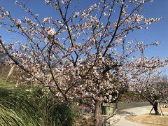 湘南産のさくら~玉縄桜~を見に、大船フラワーセンターへ