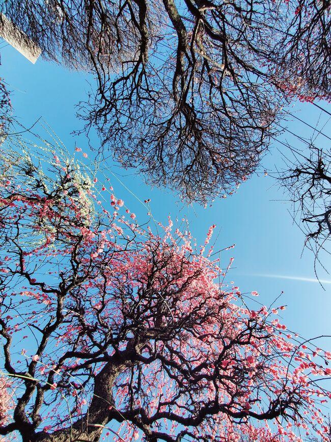 ぽかぽか陽気に誘われて、<br />お買い物ついでにママチャリで、緑と花の学習園と<br />小村井香取神社の香梅園に立ち寄りました。<br /><br />安藤広重にも描かれた、江戸時代からの梅の名所で、<br />可愛いシジュウカラと出逢い、<br /><br />ボランティアに支えられている花木園で、<br />美しい寄せ植えに、心癒されました。