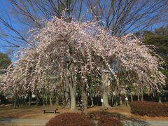 大宮第二公園で梅を鑑賞、その後、盆栽村へ