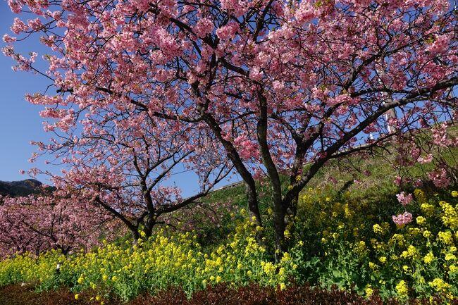 朝起きたら天気が良くまた年休を取っていたので、急遽河津桜まつり中止の河津桜を見に行くこととした。 平日だしコロナ化だから余裕だろうと思ったら、伊豆線はギリギリだった、あぶない、 1時間以上立ちっぱなしは堪えるので。 昨日に続きいい天気の中スタート。