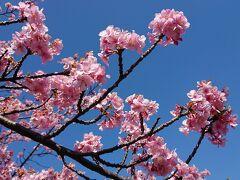 洞川の河津桜