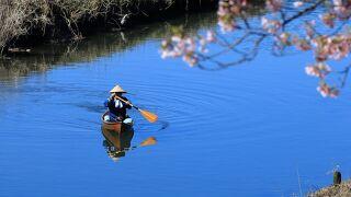 青野川で河津桜を川から眺めてきました