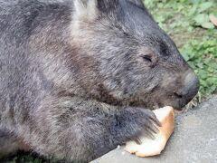 長距離ドライブで北陸信州レッサーパンダ遠征(10)茶臼山動物園(後編)ヤマアラシの赤ちゃんには会えずウォンバットは閉園間際ぎりぎり