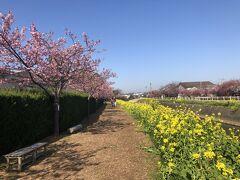 免々田川菜の花桜祭り