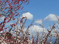 今日もお花見ー私のアイドル富士山を追いかけて富士市岩本山公園へ