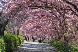 ★南伊豆の河津桜