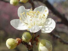 大高緑地の梅の花は,まだまだ,続きます。