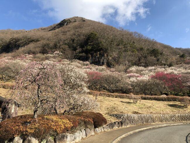 湯河原梅林での梅の宴が、例年よりも規模を縮小して開催中です。<br />山一面が梅の花、こんなに豪華な梅の花を見たのは生れてはじめて、感動モノでした。<br /><br />幕山の麓に広がる梅の花を抜けて、標高626mの幕山の山頂へ。初級者向けのハイキングコースということでしたが、お散歩気分の私にとっては、相当にハードでした。<br />麓の幕山公園から20分ほどの上ったところに「梅林最高地点」の標識があり、ここまでは梅の花がきれい。ここから上は、ぱったりの梅の花はなくなります。ここからはハイキングコース(登山道)の傾斜も急になり、きつい道。この道を40分登って幕山山頂へ。<br />山頂は枯草の広場。相模湾、真鶴半島の眺望はみごとですが、山の途中からも見えた景色。