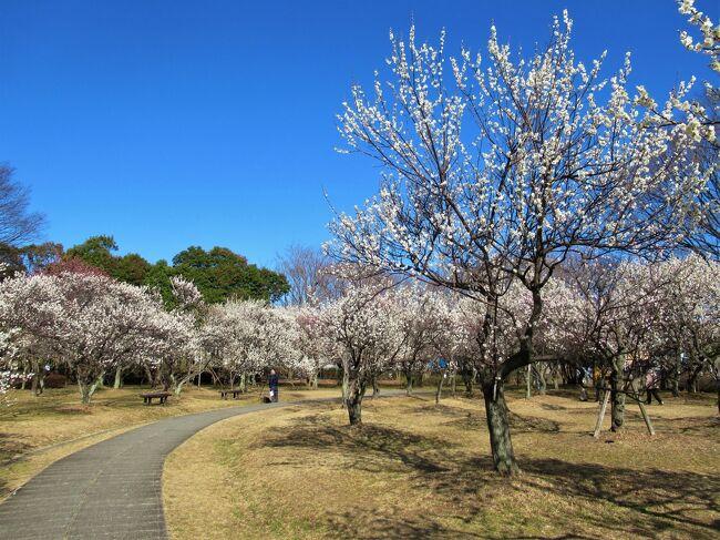 遠出も出来ない昨今、穏やかな陽気に誘われて近場の「大宮第二公園」に散歩に出掛けました。<br />丁度、梅林では梅の花が咲き揃い、年金生活者と思しき面々や赤ちゃん連れのお母さんが梅の花の香りを楽しんでいましたね。<br />産業道路を挟んで西側の「武蔵一宮(いちのみや)氷川神社」と「小動物園」も覗いて来ました。<br />今回の旅の費用は¥0です。