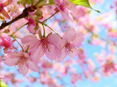 【コロナでどこにも行けないから】近所で楽しむ春と花