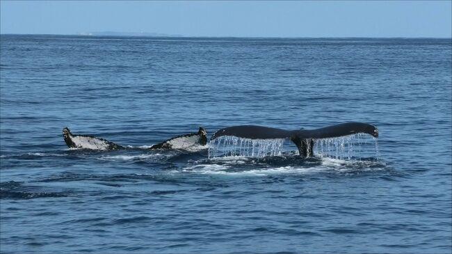 毎年冬になると慶良間諸島にはザトウクジラがやってきます。<br />今回は特にザトウクジラと出会える可能性の高いと言われる座間味島でホエール・ウオッチングに参加しました。<br />大きなザトウクジラを近くで見ることができて楽しめました。<br /><br />https://www.youtube.com/watch?v=w6ojNIgNTVI&amp;feature=youtu.be<br /><br />https://www.youtube.com/watch?v=p3iIeudokgA<br /><br />