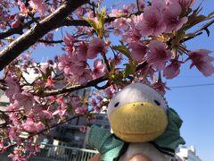 令和3年2月の梅の花と河津桜