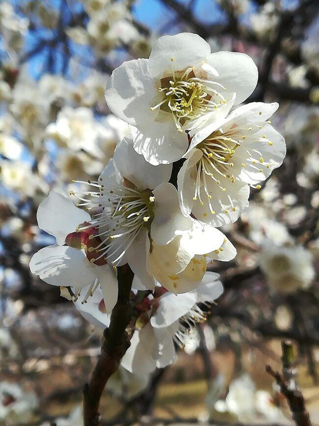 久しぶりの平日休み。<br /><br />大宮での用事がすぐに済んでしまい、<br />そのまま散策してみました。<br /><br />ちょうど梅の花の季節。<br />大宮第二公園梅林を目指してひたすら歩きます。<br /><br /><br />コロナの不安はまだまだ続きますが<br />密を避けながら深呼吸。<br />思いのほかリフレッシュできました。