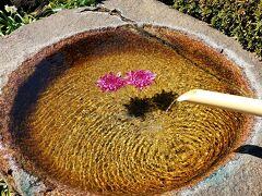 奇跡の水が湧く! 龍眼寺の河津桜と仲良しタヌキ夫妻