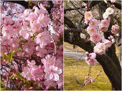 京都 一条戻橋の河津桜と二条城の梅林2021