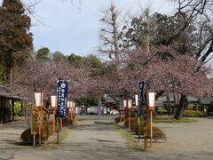 「世良田東照宮」の河津桜_2021_1~2割、開花し始めました。(群馬県・太田市)