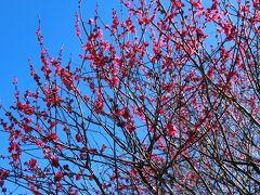 春は目の前、越谷梅林公園