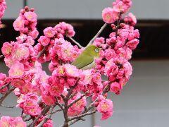 京都の早春を彩る梅鑑賞