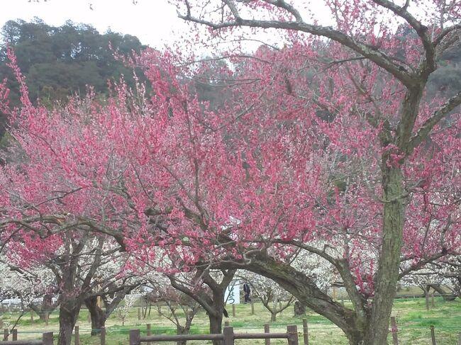 春の気配がしてきました。<br /><br />家の周りにも、そろそろ梅の花が咲いてきているので、<br /><br />ドライブがてら、梅の花を見に行こうかということになりました。<br /><br />しかしながら、コロナ禍の中、梅まつりは開催しているのでしょうか?<br /><br />ま、どちらにせよ、ダメ元で行ってみることにしました。<br />