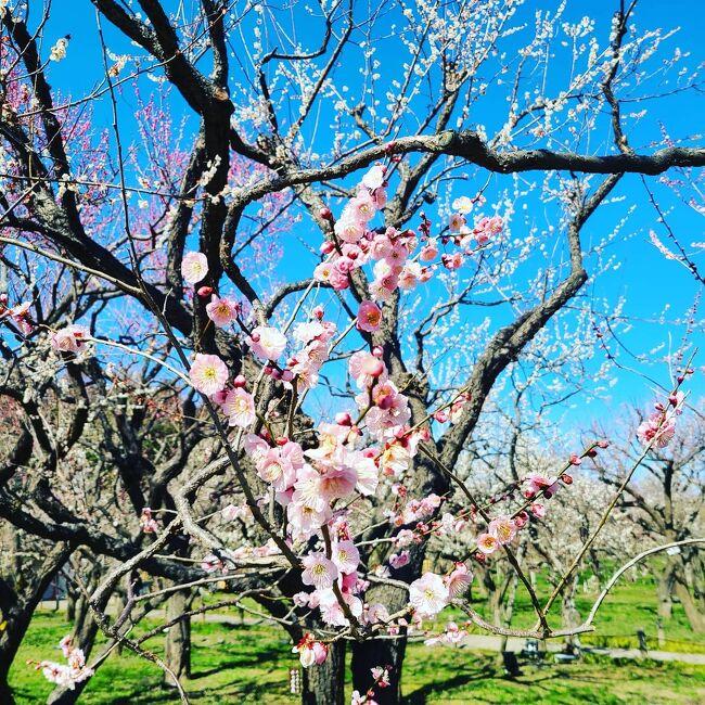 いつもの友人と桃の節句の日に梅まつりが始まった偕楽園に行って来ました。歩数計が本当に久しぶりに12,000歩を越えました!青空の下、広い園内を様々な梅を思うがままに愛でながら楽しんで来ました。宜しかったら目を通してみて下さい。