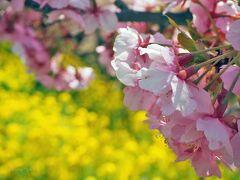 神奈川県の旅〈1〉西平畑公園の河津桜&小田原ヒルトンのスイーツビュッフェ