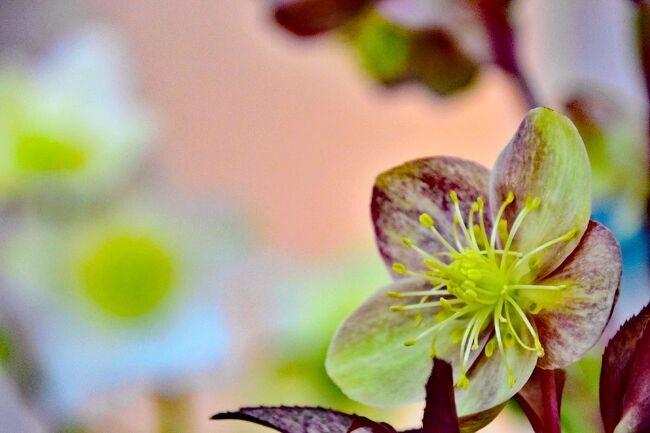 国営木曽三川公園フラワーパーク江南<br />    都市生活空間においてゆとりとうるおいを実感できる<br /> 花と緑豊かな美しい環境を創出し、<br />   多くのお客様が参加・体験できる公園として設置されました。<br />   四季折々の花々や緑に囲まれた空間で、ゆっくり散策したり、<br />   芝生広場で思いっきり体を動かしたり、<br /> 一日中楽しんでいただける公園です。<br /><br />江南市のフラワーパーク江南へ。 <br />メイン建物のクリスタルフラワー2Fで <br />「クリスマスローズの世界展」が2月27日(土)~3月7日(日)まで<br />開催されていました。<br /><br />原種や市場に流通する品種、また育種家が品種改良を重ねた<br />クリスマスローズ100鉢以上を展示。<br />綺麗なクリスマスローズを・・・。<br />クリスタルフラワー2Fの入口正面の飾りつけです~<br />色々なクリスマスローズが、ディスプレイされていました。<br />右手にお花.....左手には資料の展示がありました。<br /><br /><br />クリスマスローズの世界<br />開催期間:令和3年2月27日(土)~令和3年3月7日(日)<br />場所:国営木曽三川公園フラワーパーク江南(愛知県江南市小杁町一色)<br />場所:クリスタルフラワー2階展示コーナー(観覧無料)<br /><br />「フラワーパーク江南」は平成19年3月に公募で決定された愛称です。 <br />公園の正式名称は「江南花卉園芸公園(こうなんかきえんげいこうえん)」<br />入園料無料<br />開園時間4月1日~11月30日 9:30~17:00 <br />     12月1日~2月末日 9:30~16:30 <br />     3月1日~3月31日 9:30~17:00<br />     但し7月15日~8月31日の月曜~金曜は9:30~17:00<br />      土曜・日曜・祝日は9:30~19:00 <br />駐車場は8:30に開門いたします。<br />休園日毎月第2月曜日(休日の場合は直後の平日) <br />      ※8月は第4月曜日 12月31日、1月1日<br />駐車場無料(約460台 大型12台)<br />開園年月日平成19年10月5日<br />住所〒483-8414 愛知県江南市小杁町一色<br />問合せ先フラワーパーク江南TEL:0587-57-2240FAX:0587-57-2241<br /><br />最後に、花フェスタのクリスマスローズも加えました。<br /><br />追伸<br />過去の旅日記写真<br />前回の<br />   すいとぴあ江南の「ひなまつり」<br />   https://4travel.jp/travelogue/11680442<br />前々回の<br />   中部地区最大規模 「パンジービオラの世界展2021」<br />   https://4travel.jp/travelogue/11679367<br />今回も開催の最終日と偶然なのに驚きました。