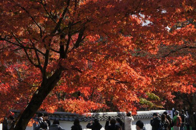 2020年11月 GOTOトラベルキャンペーンで京都へ~<br />秋の紅葉シーズンに行ってきました<br /><br />2日目はレンタサイクルで観光<br />お天気が良くて自転車日和<br />京都は駐輪場も多くてサイクリングに向いてるんです<br /><br />が<br /><br />前日に「にこみや」で地元の方に「京都は坂道が多いから自転車は・・・」とアドバイスいただいたのを痛感しました<br /><br />ママチャリは坂道が大変<br />借りるなら電動自転車にすべきです!<br /><br />紅葉写真ばかりでコメント少なめですが、防備録なのでご容赦ください<br />