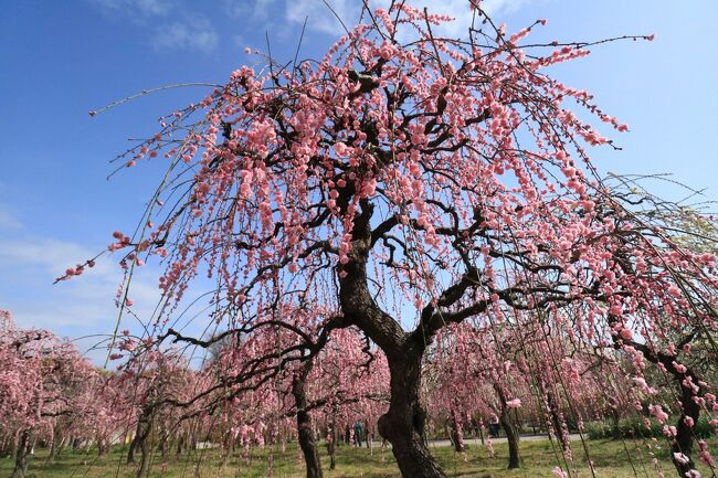 名古屋市農業センターのしだれ梅園は平成5年度に整備され、面積は約5,000平方メートル、しだれ梅は約12品種約700本、しだれ梅園としては国内有数の規模です。<br /><br />無料ともあって、近隣の方が楽しみにしていて、大勢の梅見客で混雑します。<br /><br />開花期は2月下旬から3月中旬で、例年「しだれ梅まつり」を開催しますが、今年はコロナの関係で、イベントやレストランも閉店で寂しい梅まつりでもあったけど、それには関係なく人出はありました。<br /><br />3月6日<br />今年は花が早いから、加茂川の河津桜はもう遅いのかと行ってみたら、まだ見ごろではあったけれど、前日が雨だったので花が痛んでました。<br />