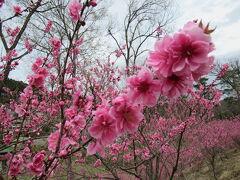 埼玉県にも花桃の郷あったんだ~大内沢 花桃の郷