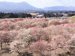 桜が咲いてきましたが、今年最後の梅見です♪ いなべ梅林公園&鈴鹿の森庭園の見事なしだれ梅♪