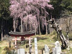 近くの枝垂れ桜を見に行ってきました
