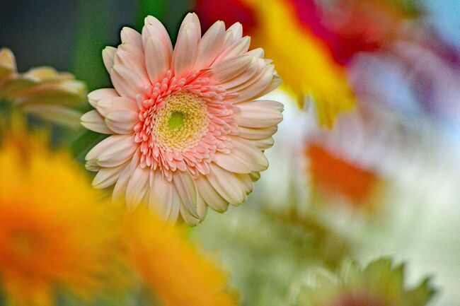 """春近しと春の気配のお知らせも?(最近の陽気)春の加速化。<br />春のお花を探しにフラワーパーク江南へ♪<br />クリスタルフラワー2階では、ガーベラ展が開催。<br />すごく元気がでそうな花<br />春から秋の季節に綺麗に咲いているガーベラ(Gerbera)<br /><br />入ると、<br />右手は何もない椅子が少しあるだけ<br />ガーベラ展は左手の方に。<br />ガーベラの切り花の花瓶がワインボトル!!<br />ガーベラの切り花100品種の多彩な花々を一つ一つじっくりと・・・。<br />花型や色などの多様性を観賞することができる。<br /><br />ヨーロッパで品種改良され、切花や鉢植用に栽培されるものが多く、<br /> 春から秋の季節に綺麗に咲いているガーベラ。<br />主に熱帯アジアやアフリカなどの温暖な場所に分布しています。<br />ガーベラはまっすぐに伸びた花茎から<br />5~10cm程度の花をたくさん咲かせてくれます。<br /><br />ガーベラ (Gerbera) は、キク科ガーベラ属<br />ガーベラはキク科の多年草で、<br />切り花用で流通しているものは約2000種もあるそうです。<br />フラワーアレンジメントでよく使われたり、<br />フラワーセラピーとしても重宝されてます。<br />ガーベラ (Gerbera) は、発見者である<br />ドイツの博物学者ゲルベル(Traugott Gerber)の名前からとられた。<br /><br />???「ガーベラ」の花言葉は「希望」「前進」???<br /><br />ピンクの花言葉「熱愛」「崇高美」「童心に帰る」<br />     """"恋に効く""""のはやっぱりピンク。部屋に飾るだけで、<br />     なんとなく女子力アップ。<br /><br />ガーベラ(オレンジ)の花言葉「冒険心」「忍耐」<br />     なぜだかやる気がわいてくる不思議なお花。1番好きな色です。<br /><br />ガーベラ(青)の花言葉は「神秘」<br />     青色は空や海を連想させ、爽やかで開放感のあるイメージです。<br />     クールになりたい時や集中力を高めたい時におすすめのカラー。<br /><br />ガーベラ(赤)の花言葉は「情熱」「熱愛」<br />       プロポーズのとき、<br />       婚約指輪と一緒にプレゼントするなら赤がオススメ。<br />       記念日の贈り物にも。<br /><br />ガーベラ(白)の花言葉は「律義さ」「希望」<br />       出会い・出発の季節にぴったりの白。<br />       お花屋さんではあまり見かけないかも…。<br /><br />ガーベラ(紫)の花言葉は希望」「前向き」?<br /><br />ガーベラ(黄)の花言葉は「究極美」「究極愛」「親しみやすい」<br />       元気がないときにもらうと嬉しい色ナンバーワン!<br />       金運アップにも一役かってくれる!?<br /><br />   花言葉に詳しい人に赤いガーベラなんか贈ってしまったら<br />             変な期待をさせてしまうのでご用心!?<br /><br />その後は、<br />フラワーパーク江南を一周しました。<br />水仙が、所々に<br />ビオラ/スノーフレーク/ヒヤシンス/タンチョウソウ(丹頂草)<br />/ホトケノザ/クリスマスローズ/クロッカス/サンシュユ(山茱萸)<br />/フッキソウ/雪柳/梅/菜の花/ハクモクレン/リュウリンカなど<br />目につくのが、圧倒的に仏の座があらゆる所に咲いてました。<br /><br />フラワーパーク江南を出る時は、気づく・・・。<br />桜が咲きほんの少し始めた様子と係員の方々が<br />『春のハンギングバスケット展』準備作業でした!<br />"""