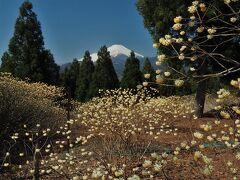 満開のミツマタと富士山の競演! ミツバ岳日帰り登山