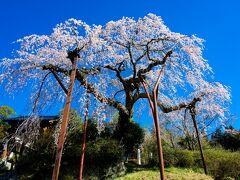 光圓寺の枝垂れ桜 2021