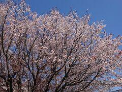 高知市水道山に桜を見に...。