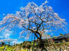 安楽寺の枝垂れ桜 2021